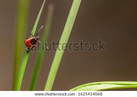 The castor bean tick (Ixodes ricinus) Stock photo ©