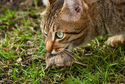 The cat holds a caught mouse in its teeth. The predator caught the prey. Survival in nature.