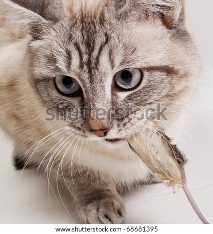 The cat holds the caught mouse in a teeth