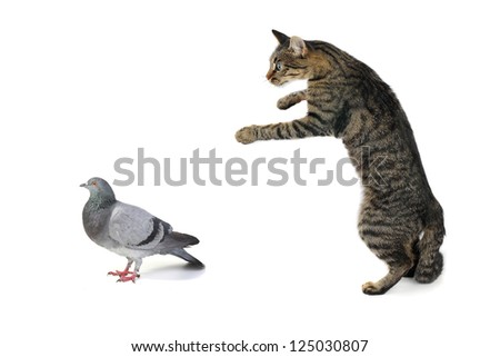 the cat hunts on a dove