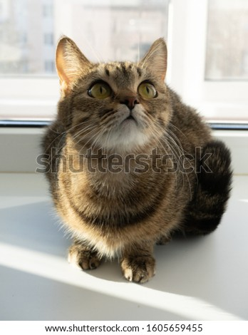 the cat is an affectionate pet with the most beautiful eyes, joy and health, home relaxation for the whole family,