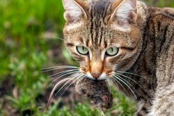 The cat is hunting a mouse. The cat holds a mouse in his teeth.