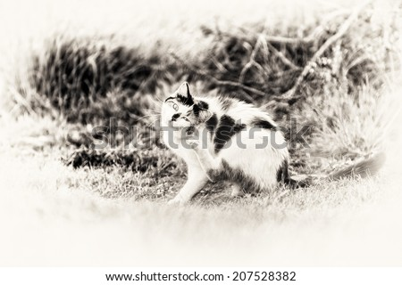 The cat is sitting and scratching itself fleas on looking at camera. Black and white fine art outdoors portrait of cute mixed-breed kitty.