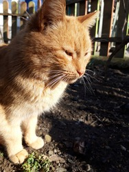 The cat is sitting beside a wooden fence. Brown cat sitting on the ground. Zooming closeup. soft focus. spring