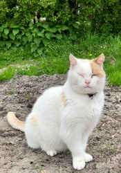 The cat is sitting, slipping. White cat with closed eyes sitting on the soil