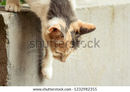The cat is standing on a concrete wall with the head down, looking down #1232982355