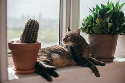 The cat lies by the open window in the sun. Gray cat basks in the spring sun on a windowsill between flower pots