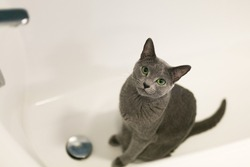 The cat lies in the bath. A purebred cat loves to wash in the bathroom. White bathtub, beautiful green-eyed cat.