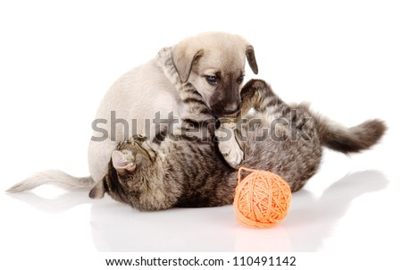the cat plays with a dog. isolated on white background
