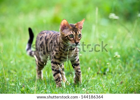 The cat runs on a lawn #144186364