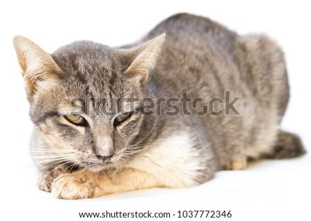 The cat sick as a Feline Calicivirus (FCV) and Feline Herpesvirus (FHV),Feline Parvovirus Enteritis on white background. - Shutterstock ID 1037772346