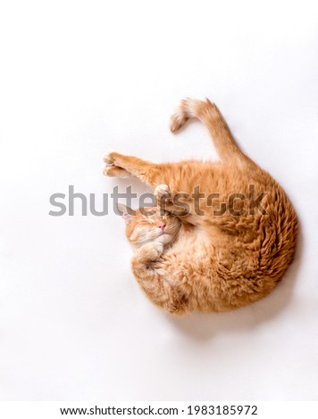 The cat sleeps in an uncomfortable position. A funny cat lies on a white blanket. A cat pressed its paws to its muzzle.Copy space for text, light background. Horizontal photo Stock foto ©