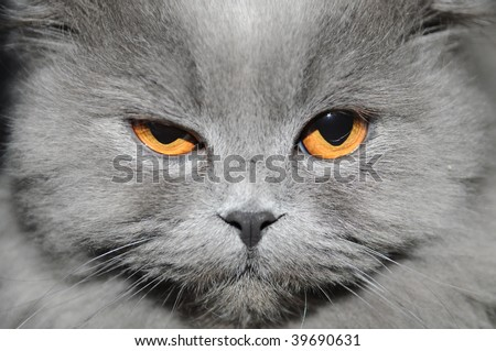 The cat with a long grey wool winks in a camera