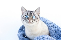 The cat with blue eyes on a white background