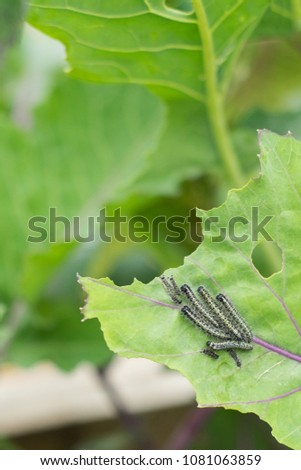 The caterpillar larvae of the cabbage white butterfly eating the leaves of a cabbage. #1081063859