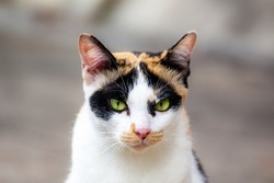 The cats are white and have three colors, portraits, and blurred backgrounds.close up