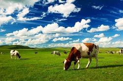 The cattle on the Hulunbuir summer grassland.