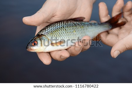 The caught fish is in fisherman's hands on a background of a water. It is a closeup of the small roach (Rutilus rutilus) in a male palm. It is catch during a summer fishing season.