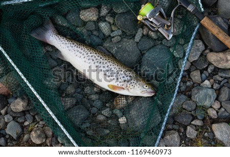 The caught trout and the fishing gear are on a riverbank on the pebble. The catch is lying in a green landing net next to a black rod is equipped with a reel and a cord of light green color. #1169460973