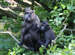 The Celebes crested macaque (Macaca nigra)