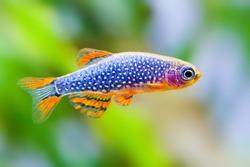 The celestial pearl danio Margaritatus Galaxy Microrasbora. aquarium fish. Macro view, shallow depth of field