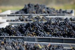 The Central Otago vineyard harvest in New Zealand during daytime