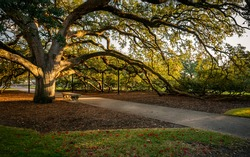 The Century tree is located on Texas AM University campus and is steeped in tradition. Here the golden evening light illuminates the tree on a lovely autumn evening.