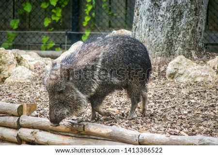 The Chacoan peccary is found in the Gran Chaco of Paraguay, Bolivia, and Argentina. It is an ungulate with a well-formed rostrum with a tough leathery snout.