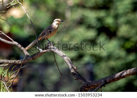 The chalk-browed mockingbird also know Sabia-do-campo is a typical bird from the south-central region of Brazil. Species Mimus saturninus. Birdwathching. Bird lover. Amazing nature.