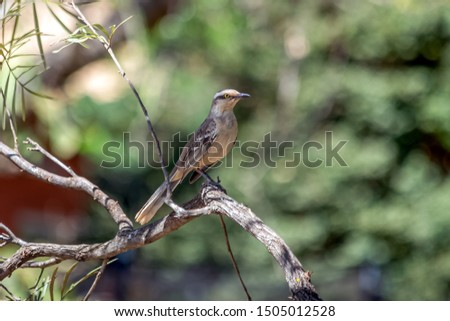 The chalk-browed mockingbird also know Sabia-do-campo on the branch of tree. Species Mimus saturninus. It's a typical bird from the south-central region of Brazil. Bird lover. Birdwatching. Nature.