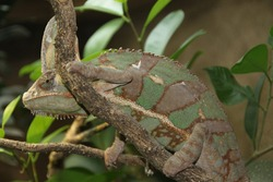 The chameleon is known for its exceptional ability to camouflage itself and change color