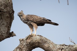 The changeable hawk-eagle or crested hawk-eagle (Nisaetus cirrhatus) is a large bird of prey species of the family Accipitridae.