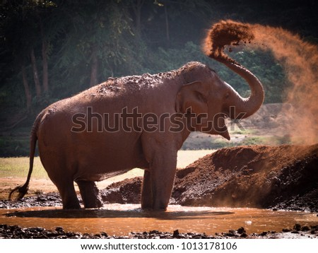 The cheerful elephant is playing mud happily in the jungle. Nature of wildlife, livelihood of animals.