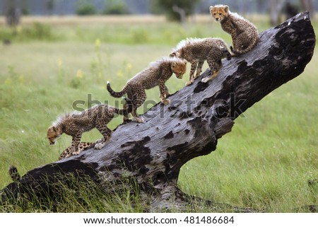 The cheetah (Acinonyx jubatus), also known as the hunting leopard, cubs on a slant dry tree #481486684