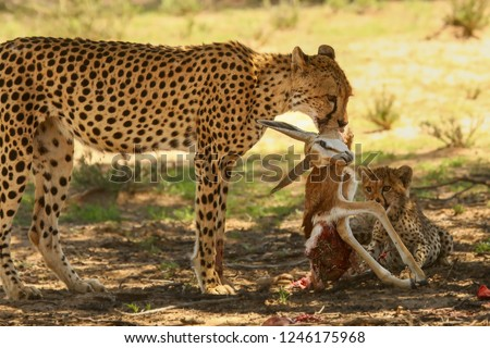 The cheetah (Acinonyx jubatus) feline with her cub feeding. Cheetahs with death antelope in red sand in Kalahari desert in the evening sun.