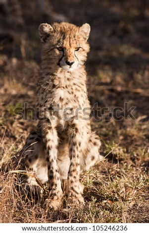 The cheetah (acinonyx jubatus) is a member of the cat family (felidae). as the fastest land mammal, it is unique in its speed, yet lacks climbing abilities.