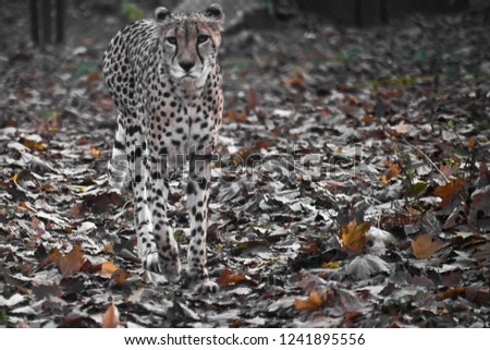 The cheetah goes past the tree, the protective coloring of the skin merges with the foliage of the foliage. #1241895556