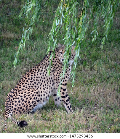 The cheetah is a large-sized feline inhabiting most of Africa and part of the Middle East.The cheetah is the only extant member of the genus Acinonyx,most notable for modifications in the species paws #1475293436