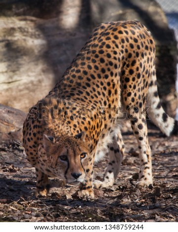 The cheetah sneaks among the trees(sniffs the ground, searches),  , the shadows and the spotty coloring of the skins of a big cat create an excellent disguise.  Big cat. #1348759244