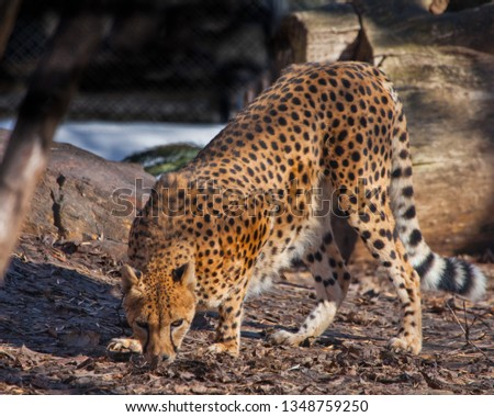 The cheetah sneaks among the trees(sniffs the ground, searches),  , the shadows and the spotty coloring of the skins of a big cat create an excellent disguise.  Big cat. #1348759250