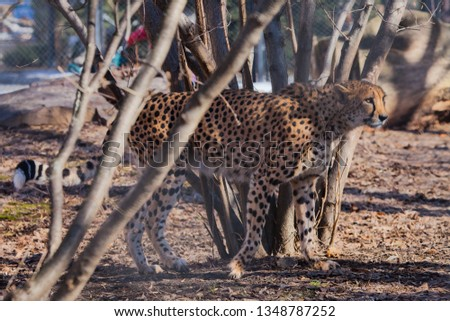 The cheetah sneaks among the trees, the shadows and the spotty coloring of the skins of a big cat create an excellent disguise.  Big cat. #1348787252