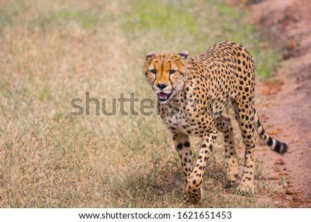 The cheetah walk freely on the car tracks of the savannah. Kenya, Masai Mara Park. Jeep - safari in spring in the African savannah. Concept of exotic, extreme tourism and photo tourism
