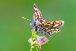 The chequered skipper (Carterocephalus palaemon), not to be confused with the large chequered skipper, is a small woodland butterfly in the family Hesperiidae.