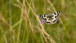 The chessboard or checkerboard (Melanargia galathea) is a beautiful black and white butterfly typical of meadows and pastures. Open winged insects perched on grass. Passion for entomology and nature