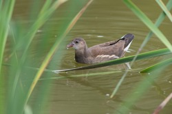 The chick of moorhen waterhen on the lake. High quality photo