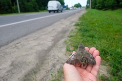 The chick on a human palm spread its wings. Baby birds on the roadside. Road safety concept.
