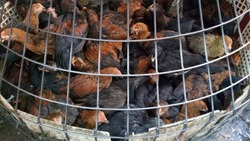 The chicken was trapped in a steel cage waiting to be slaughtered and disinfected for human consumption in the bazaar.