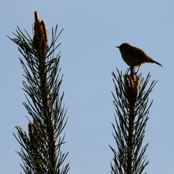 The Chiffchaff (Phylloscopus collybita) is a small bird from Europe. Dark silhouette of the bird in Chinese shadow against the blue sky, perched on a spruce branch. Passion for ornithology.