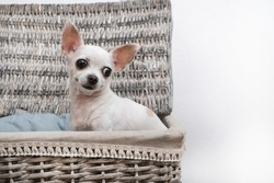 The Chihuahua dog sits in a wicker laundry basket and looks away. A large basket filled with linen stands on a white background.