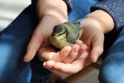 The child holds a small bird in his hands. The chick of a tit sits confidently in the hands of a child. Saving lives and freedom of wild birds.